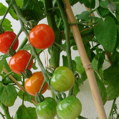 Grand tuteur longueur 1m80 (180 cm) pour pieds de tomate 2