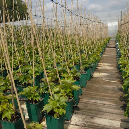 Tuteur pour Plante en Pot, Bambou 60cm