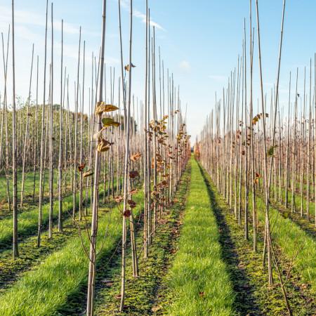Tuteur Agricole 2m, Bambou